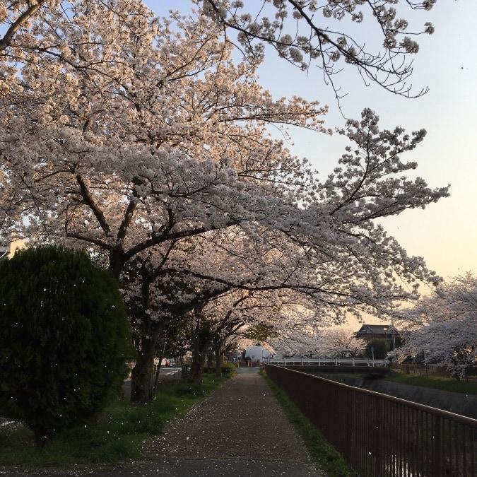 扇川の桜がキレイでした♡